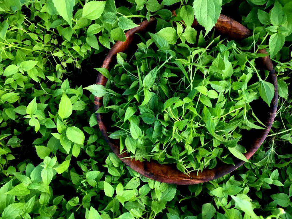Pigweed plant- młoda komosa
